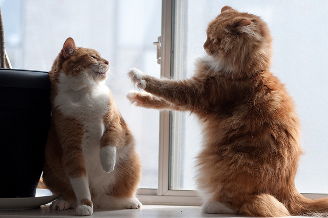 cute ginger cats playing fighting