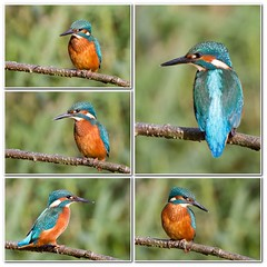 Theres a storm coming ( Kingfisher Storm ) (Andrew Haynes Wildlife Images) Tags: nature wildlife coventry warwickshire brandonmarsh canon7d ajh2008
