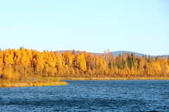last days of autumn (manywinters) Tags: blue autumn fall leaves yellow alaska gold birch northpole chenalakes