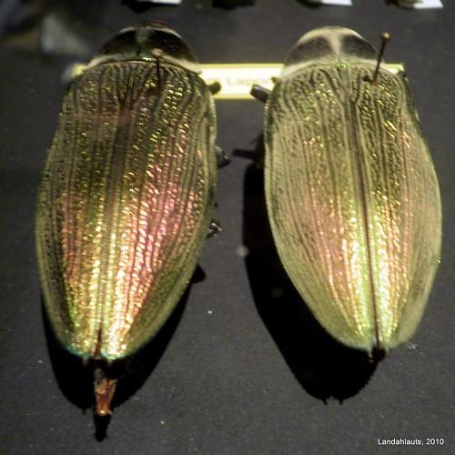 Euchroma goliath