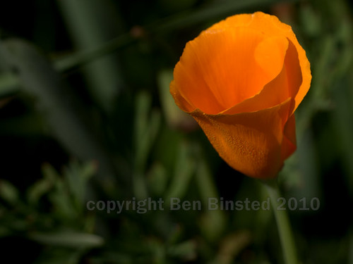californian poppy by ben binsted