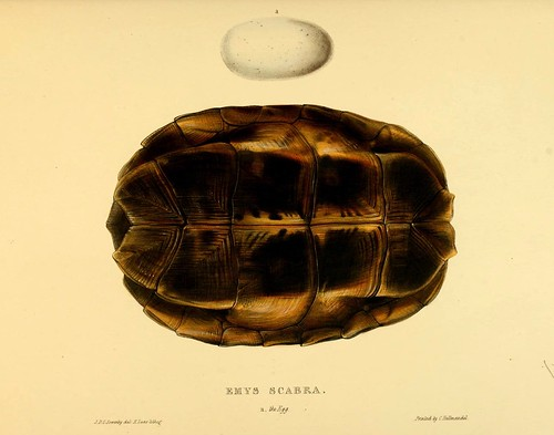 010-Emys Scabra anverso-Tortoises terrapins and turtles..1872-James Sowerby