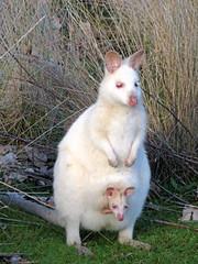 Albino wombat - photo#18