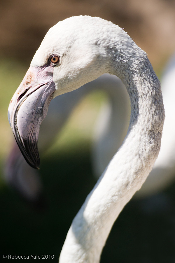 RYALE_African_Dawn_Birds_77