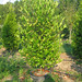 Cherry Laurel #15