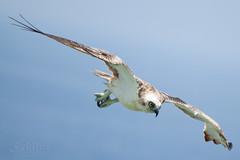 Attack  Bird - Osprey - Fish Hawk - Pandion Haliaetus (S@ilor) Tags: red sea