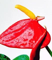 """little flamingo boy"",  ""Flamingo Flower"" or ""Boy Flower"" (eagle1effi) Tags: flowers red flower macro rot nature fauna favoriten rouge flora flickr bestof photos natur blumen selection foliage fotos fiori anthurium blume fiore auswahl beste flamingoflower damncool selektion lieblingsbilder eagle1effi byeagle1effi naturemasterclass ae1fave boyflower yourbestoftoday flamingoboy tagesbeste"
