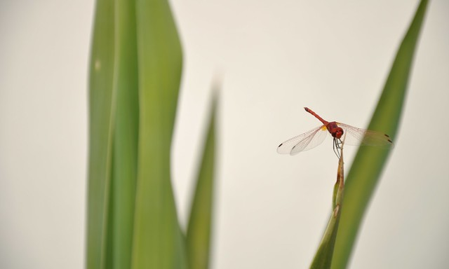 red dragonfly armwresteling green plant