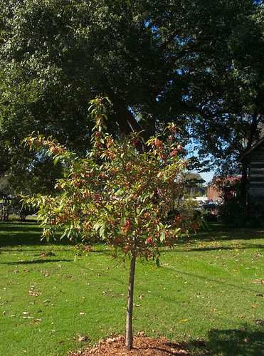 Young Ornamental Crabapple Tree, near Avalon Hall