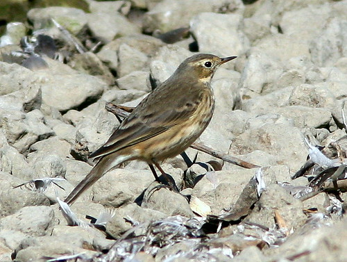 American Pipit 20101008
