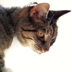 Zus (Cajaflez) Tags: portrait cute cat chat profile katze portret gatto huisdier gatti poes zus cc200 mywinners kissablekat bestofcats natureselegantshots catmoments 100commentgroup catnipaddicts saariysqualitypictures