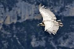 VERDON 2010 - 0003 (aups83) Tags: de sainte lac paca provence verdon croix balade d90 gr4 vautour gorgesduverdon pointsublime lacdesaintecroix parcnaturel rougon parcrégional parcnaturelregionalduverdon paludsurverdon voutourfauve