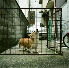 ! (978) Tags: street travel dog 120 6x6 tlr film japan kyoto   welshcorgi kansai  f35 75mm xenotar explored rolleiflex35e fujifilmpro400h