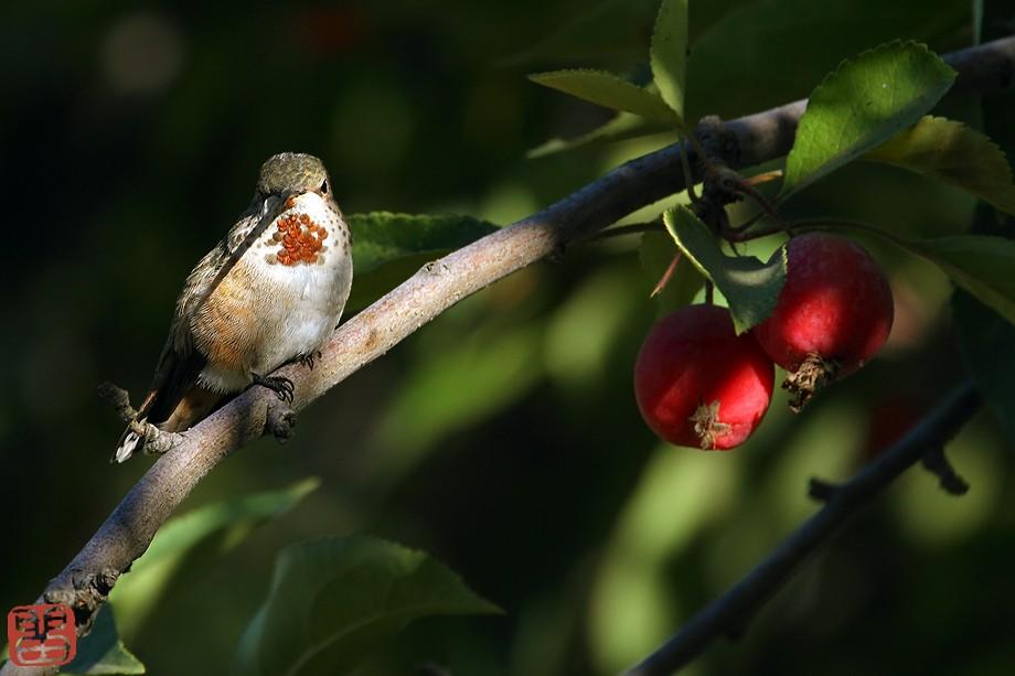 Allen's Hummingbird 09101-3