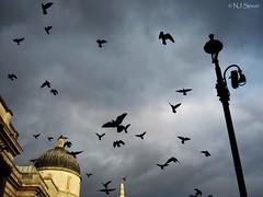 Trafalgar Square, London (neiljs) Tags: uk england london europe britain pigeon