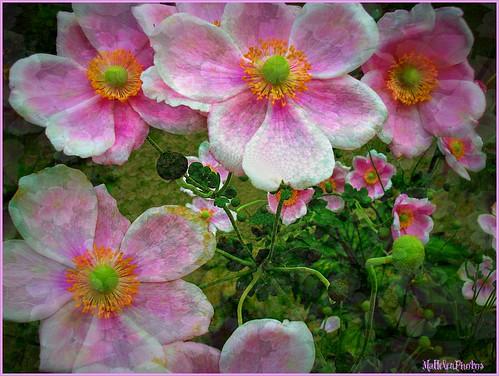 Pink fairies in the garden