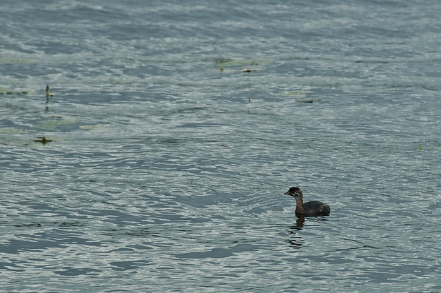 Immature Pied-Billed Grebe (Podylimbus podiceps)