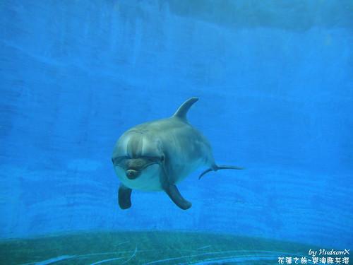 瓶鼻海豚(1)