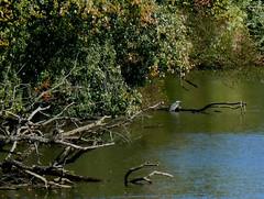 along the Monongahela (leafy) Tags: urban bird water river stream pittsburgh branches snags greatblueheron recovery frickpark ninemilerun ecosystem gbh nmrwa nativehabitatrestoration resytration ninemilerunorg