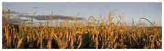 Campos de Maiz IV (EL OSO CON BOTAS) Tags: españa paisajes canon photography landscapes countryside spain photos cornfields zamora castilla bebes maizales raulcarrera