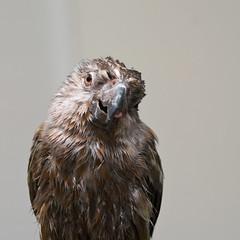 Goofy face (nathascha) Tags: pentax parrot pixel redbellied af360fgz poicephalus redbelliedparrot k20d pentaxda70mmf24 nathascha