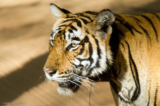 RYALE_Ranthambore_Tiger_24