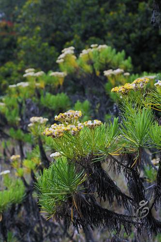 Edelweiss, Bunga Langka nan Abadi