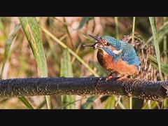 Brandon Marsh Kingfishers (Andrew Haynes Wildlife Images) Tags: bird nature wildlife kingfisher slideshow coventry warwickshire brandonmarsh canon7d ajh2008