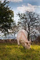 Portraits Vaches made in Cantal-28
