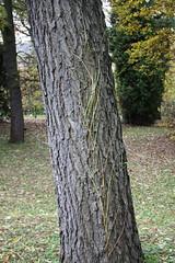 Gymnocladus dioicus (thmlamp) Tags: bark blatt ist der rinde landart leav borke gymnocladusdioicus zusammengesetzt landartconnections doppeltgefiedert twicepinnate erik beste ungltigestag