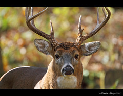 Return of Mr. 10 Point (Hamilton Images) Tags: ohio canon mammal october deer toledo 7d buck 500mm 2010 whitetaileddeer odocoileusvirginianus 10point img1009 14xteleconverter