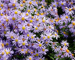 Aster la vista, baby! (SteveJM2009) Tags: uk autumn light wallpaper flower colour beautiful daisies stars october dorset daisy sunlit aster 2010 stevemaskell kingstonlacy hastalavistababy michaelmasdaisy awesomeblossoms