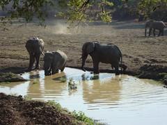 Water for Elephants (rosie siman) Tags: africa wildlife safari elephants zambia ellies africansafari mfuwe mfuwelodge thebushcampcompany