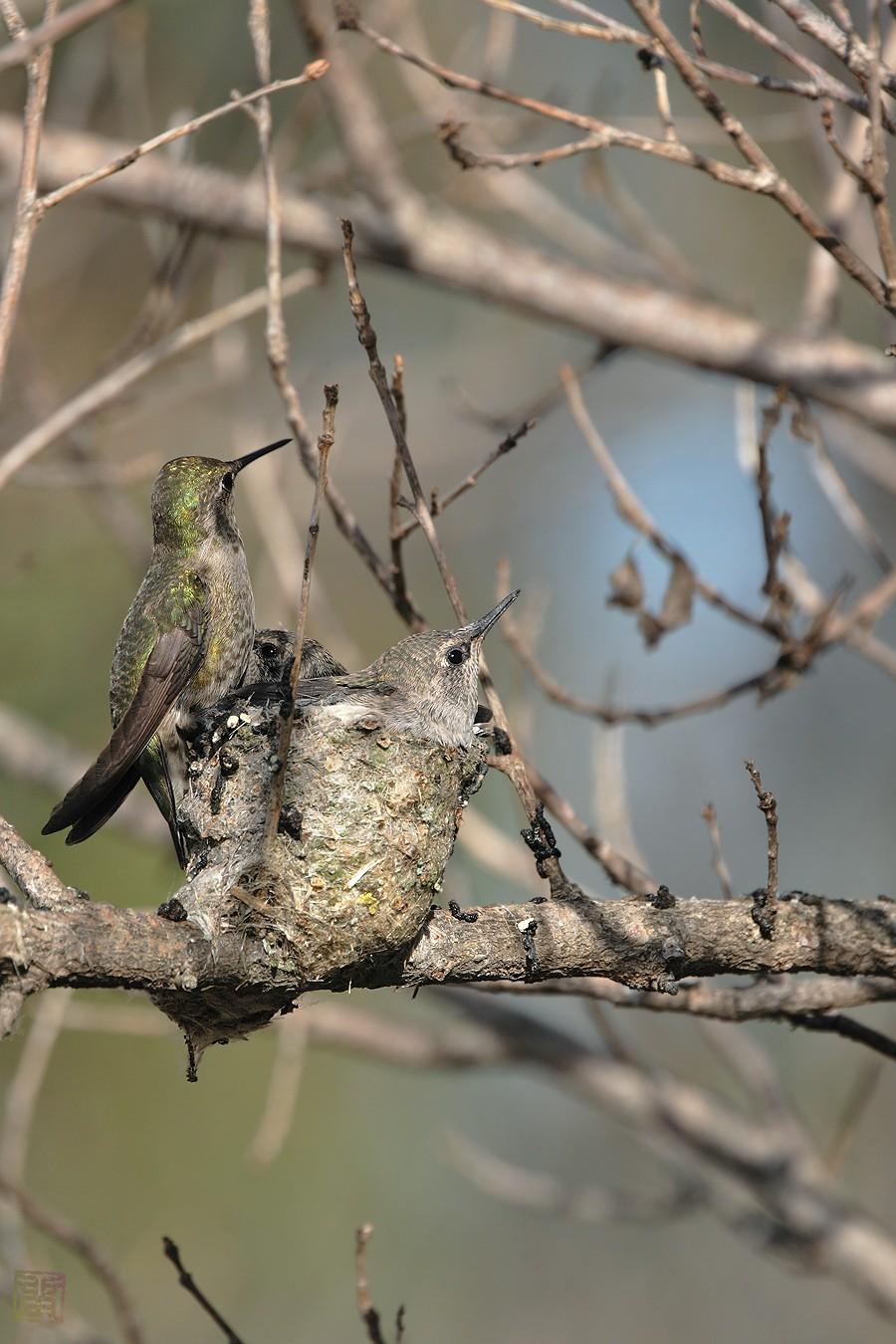 Anna's Hummingbird nest 0319101