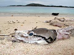 Dead and skinless snake on the beach - Gili meno (pacoalfonso) Tags: trip travel viaje beach indonesia asia snake playa gili lombok viajar meno pacoalfonso pacoalfonsocom