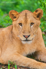 lion is cute (endardeep) Tags: nature lion binatang hewan impressedbeauty
