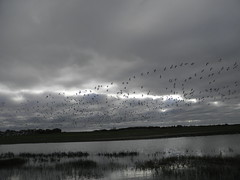 snow geese and dark clouds