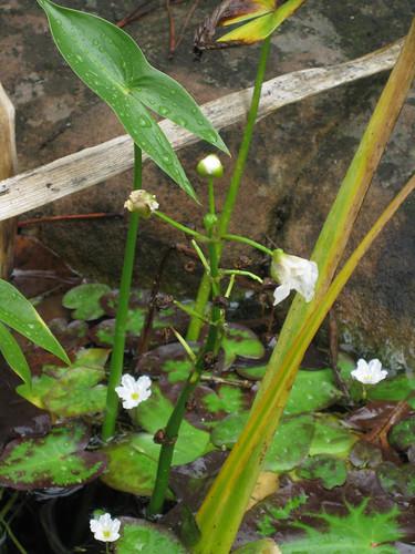 Arrowrootflower