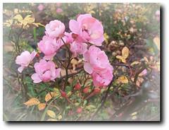 One from the last autumn flower on my road-Az utolsó őszi virágzás az utamon.. (Katalin Réz) Tags: autumn flower searchthebest virág ősz fantasticnature concordians absolutelyperrrfect