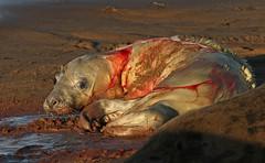 Seal birth 13 (2:32pm) (nutmeg66) Tags: november birth lincolnshire seal newborn pup 2010 halichoerusgrypus greyseal donnanook