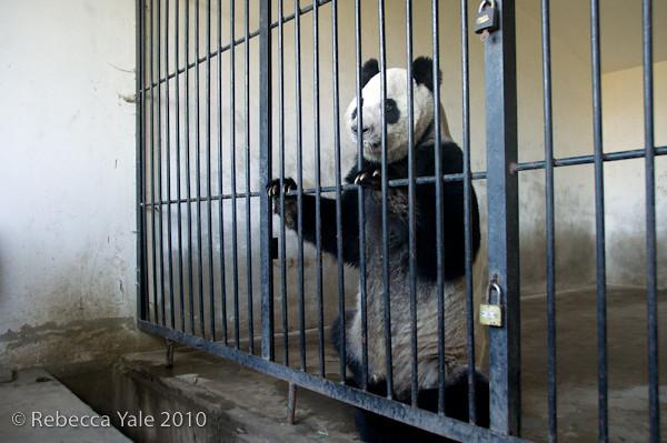 RYALE_Panda_Bears_22