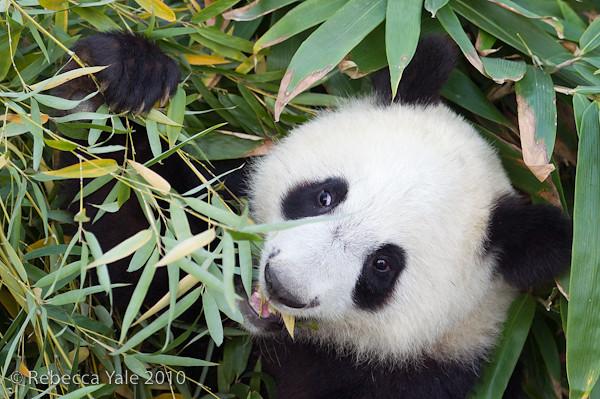 RYALE_Panda_Bears_5