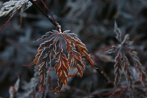 FrostedJapaneseMaple2