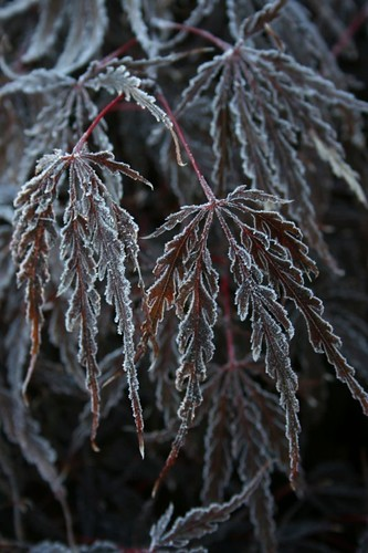 FrostedJapaneseMaple