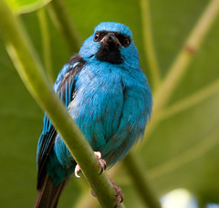 Northern Blue Dacnis (San Diego Shooter) Tags: bird birds zoo sandiego sandiegozoo bluedacnis northernbluedacnis