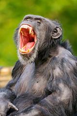 [フリー画像] 動物, 哺乳類, ヒト科, チンパンジー, 欠伸・あくび, 口を開ける, 201011211100