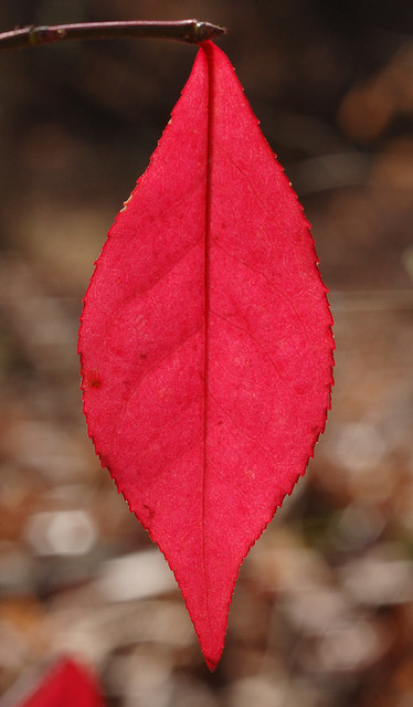 Broemmelsiek Park, in Saint Charles County, Missouri, USA - red leaf