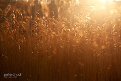 Sunset_grass (PeterChad) Tags: wood autumn trees light sky cloud brown lake tree fall love reed nature beauty sunshine reeds golden solitude alone afternoon riverside forrest district lakedistrict scenic nopeople cycle cumbria getty chippy darkcloud darksky regeneration sidelight welcomeuk