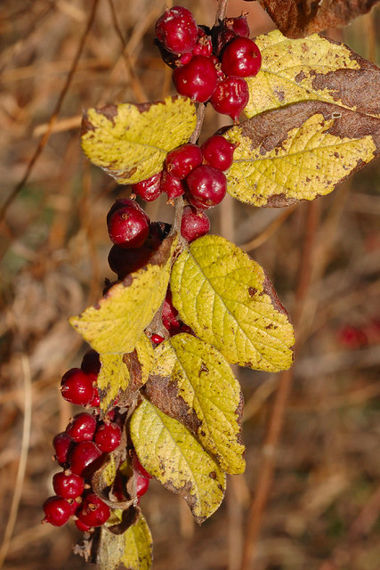 Broemmelsiek Park, in Saint Charles County, Missouri, USA - red berries with pale yellow-green leaves