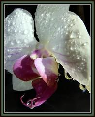 Bejewelled (W J (Bill) Harrison) Tags: pink orchid water rain droplets petal raindrops picnik bejewelled jewells canoneos50d wjbillharrison